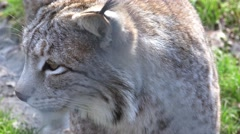 4k Lynx very close up profile view Stock Footage
