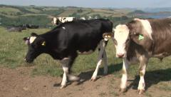Stock Video Footage of Cattle grazing contentedly