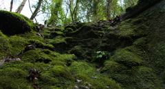 Water Drops woodland moss CINEC ProRes422HQ Stock Footage