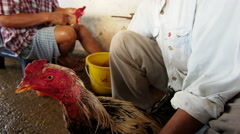 Men Preparing Roosters for Cockfight in Thailand Stock Footage