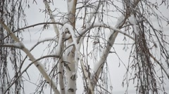 Close-up of snow falling on background of leafless birch tree Stock Footage