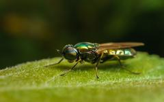 A Black-Horned Gem Soldier Fly Stock Photos