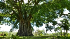 Giant Banyan (Balete) Tree 01 - stock footage