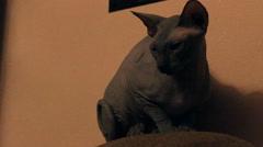 Bald cat looks around Stock Footage