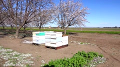 Almond Orchard, beehives brought in to pollinate Stock Footage