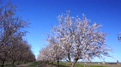 Almond Orchard, early learning farming family Stock Footage