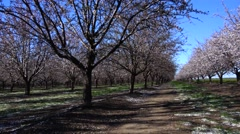 Almond Orchard, being together Stock Footage