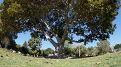 Big Tree Establishing Shot - stock footage