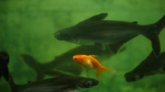 Fishes Breeding In Fish Tank Stock Footage
