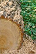Log, sawdust, forest - stock photo