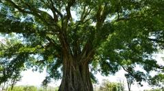 Giant Banyan (Balete) Tree 02 - stock footage