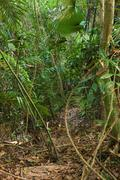 Trail in the bamboo thickets tropical jungles of South East Asia Stock Photos