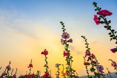 Hollyhock flower garden with sunset sky Stock Photos
