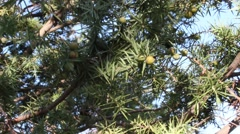 Juniper with berries for spice and medicine Stock Footage
