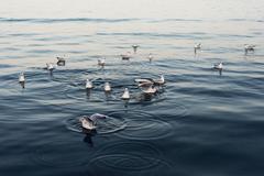 Seagulls in the sea - stock photo