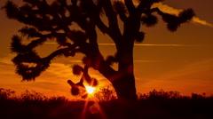Wide Joshua Tree Silhouette Timelapse Sunrise Dawn Stock Footage