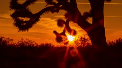 Stock Video Footage of Sun rises behind Joshua Tree Silhouette Timelapse