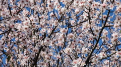 Cherry blossoms moving with the breeze on a warm and sunny spring day Stock Footage