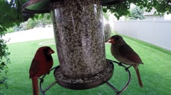 Red Northern cardinal birds eating seed from feeder Stock Footage
