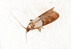 Flour Moth, Pantry Moth (Ephestia kuehniella) - stock photo