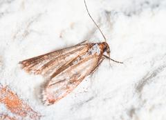 Flour Moth, Pantry Moth (Ephestia kuehniella) Stock Photos