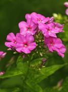 Blooming pink phlox - stock photo