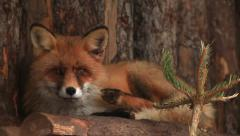 Adorable red fox female, vulpes vulpes, resting on wood log wall background. Stock Footage
