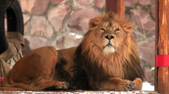 Eye contact with adorable Asian lion, full-length view, lying in summerhouse Stock Footage