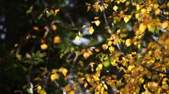 Footage of a tree leaves at a windy weather and autumn time Stock Footage