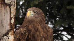 Adorable head of white-tailed sea eagle or erne, Haliaeetus albicilla, Stock Footage