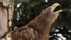 Call of white-tailed sea eagle or erne. HD clip with sound track. Stock Footage