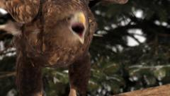 Cry of white-tailed sea eagle or erne, flapping on forest background close up. - stock footage