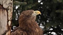 Eye contact with white-tailed sea eagle, Haliaeetus albicilla, looking around - stock footage