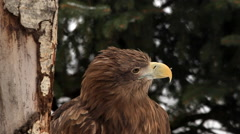 Eye contact with adorable white-tailed sea eagle or erne, Haliaeetus albicilla, - stock footage