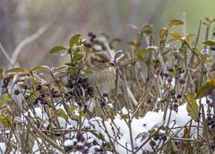 Single sparrow with smeared berries in its beak Stock Photos