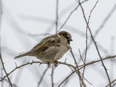 single sparrow sitting on leafless thorny twig - stock photo