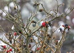 Sparrow sitting on leafless twigs of wild rose Stock Photos