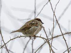 single sparrow sitting on leafless thorny twig - stock photo