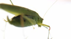 Big Green Grasshopper On A White Background Macro From The Rear Stock Footage