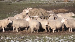 Sheep Feeding In Winter - stock footage