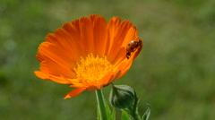 Beautiful ladybird ladybug on marigold medical flower Stock Footage