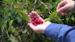 Hands gathering fresh wild raspberry in summer forest Stock Footage