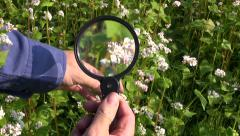 Agronomist farmer looking buckwheat  condition  in field with magnifier tool Stock Footage