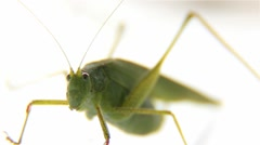 Big Green Grasshopper On A White Background Macro - stock footage