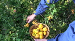 Harvesting ripe yellow quince (Chaenomeles) fruits in garden Stock Footage