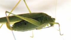 Big Green Grasshopper Macro Stock Footage