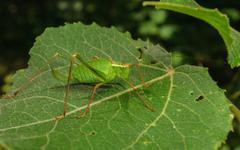 A Speckled Bush-Cricket Stock Photos