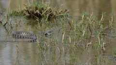 Water snake (Natrix natrix) is crawling and swimming in a pond Stock Footage