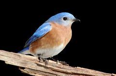 Male Eastern Bluebird on Black - stock photo