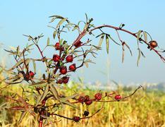 Hibiscus sabdariffa, used to make Hibiscus tea Stock Photos